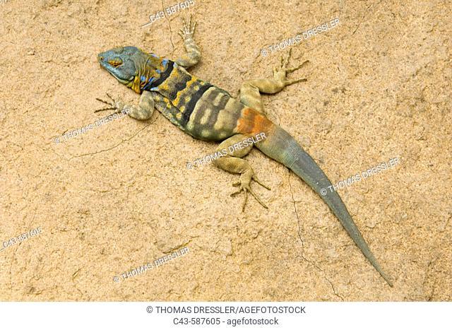 Baja Rock Lizard, San Lucan Rock Lizard (Petrosaurus thalassinus). Male, native of Baja California. Photographed in captivity in the Arizona-Sonora Desert...