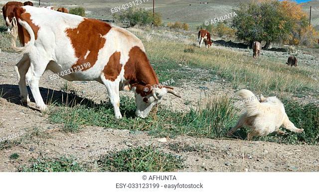 sheepdog in the Altai Mountains