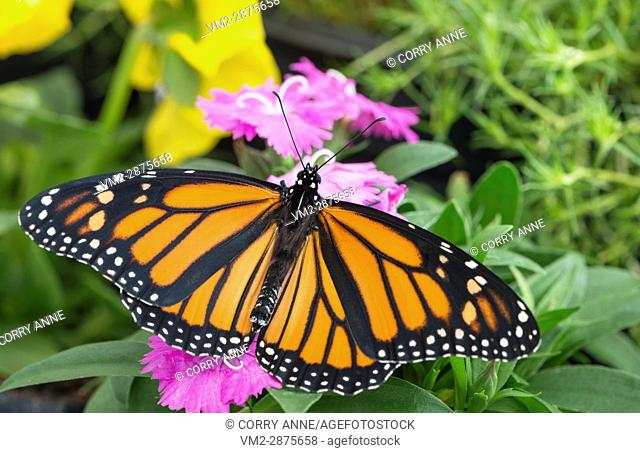 Monarch butterfly with spread wings on a pink dianthus flower. New Zealand