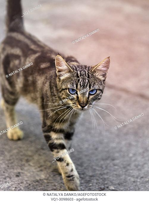 walking along the street striped gray cat with blue eyes looking forward