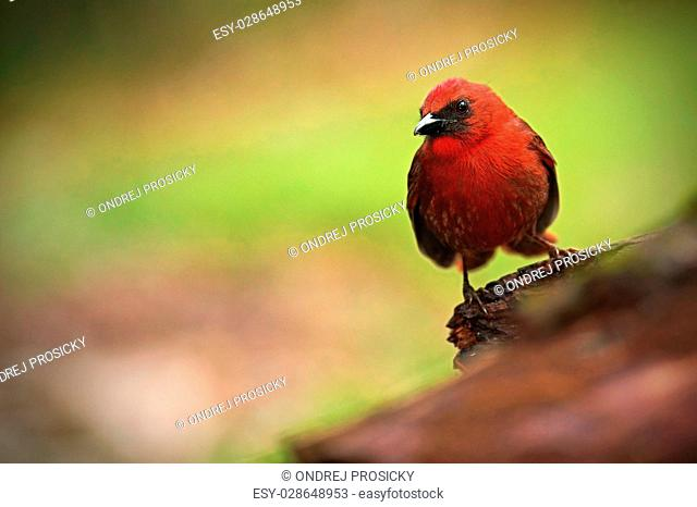 Red-throated Ant-Tanager, Habia fuscicauda, red tropic song bird