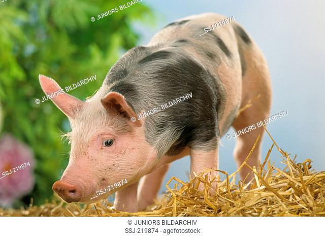 Domestic Pig. Piglet standing on a straw bale. Germany