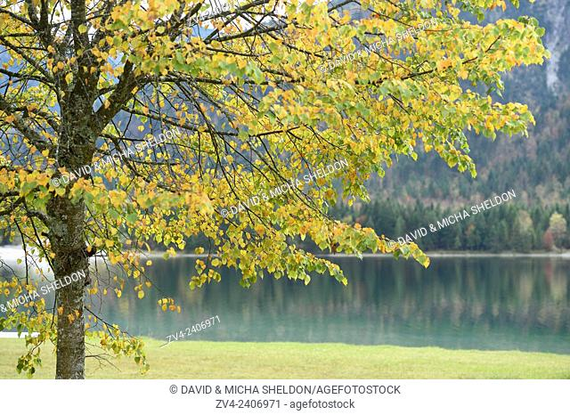 Landscape of a silver lime or silver linden (Tilia tomentosa) next to a clear lake (Plansee) in autumn in Tirol, Austria