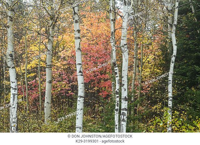 Autumn maple foliage and aspen tree trunks, Greater Sudbury, Ontario, Canada