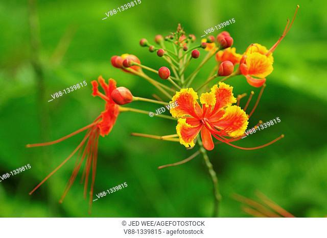 Caesalpinia pulcherrima, common names Peacock Flower, Red Bird of Paradise and Pride of Barbados, national flower of Barbados, Singapore Botanic Gardens