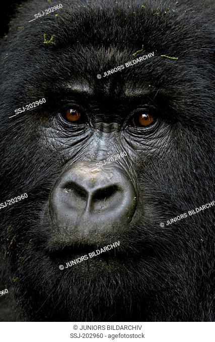Mountain Gorilla (Gorilla beringei beringei). Portrait of adult. Volcanoes National Park, Rwanda