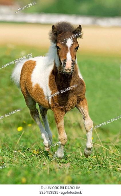 American Miniature horse - foal on meadow