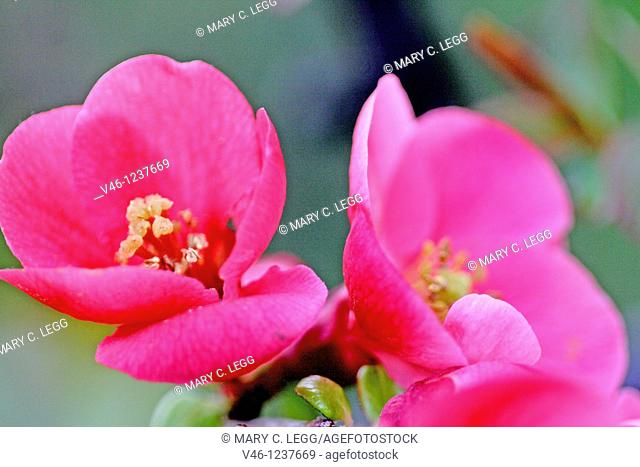Two flowering quince blossoms, Chaenomeles  Close up  Pink flowering plant with sharp thorns  Very sweet smelling plant  The plant bears a yellow aromatic fruit...