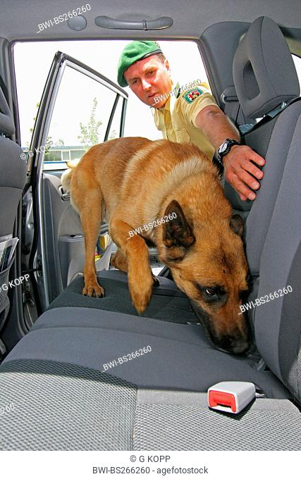 Malinois Canis lupus f. familiaris, drug-sniffing dog inspecting the inside of a car with a police dog handler