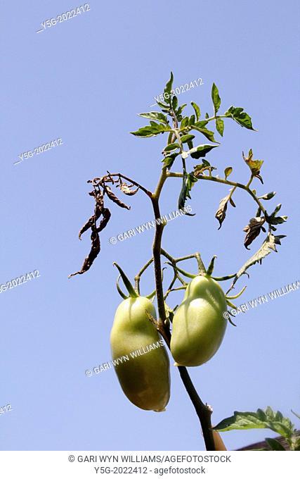 tomato plant in rome italy