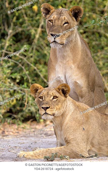 Lion (Panthera leo) - Female and Young, Chobe National Park, Botswana