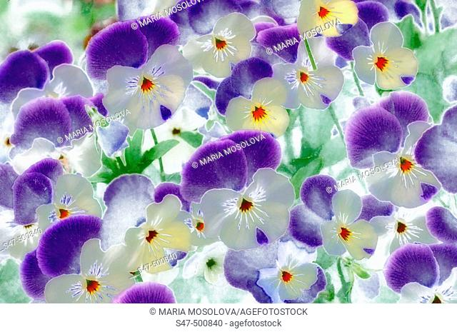 Pansies. Viola x wittrockiana. Maryland, USA