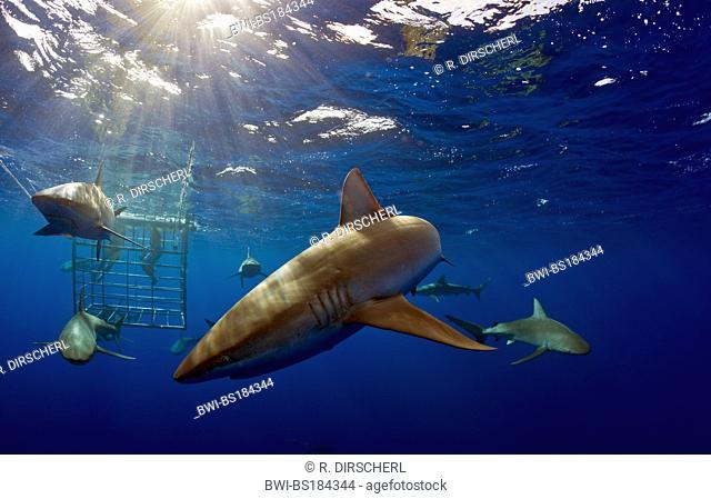 Galapagos shark (Carcharhinus galapagensis), several individuals in front of shark cage, USA, Hawaii, Oahu