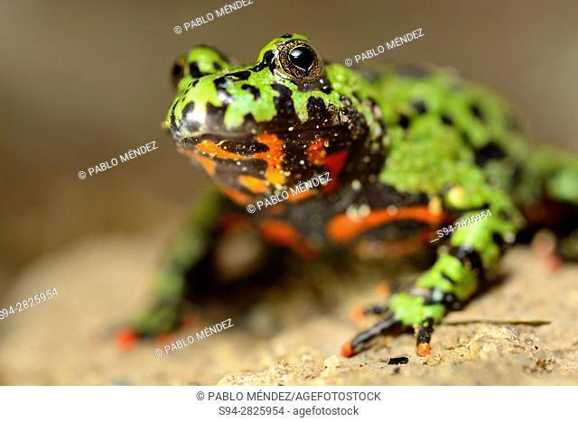 Asian fire-bellied toad (Bombina orientalis)