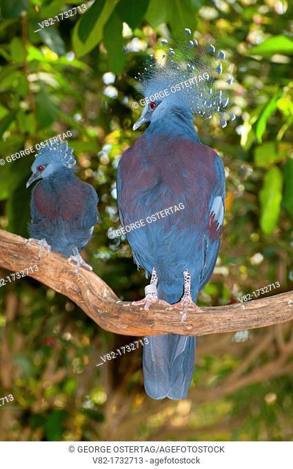 Victoria crowned pigeon Goura victoria, captive animal