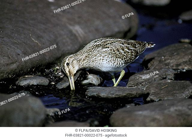 Magellanic Snipe Gallinago paraguaiae Standing in shallow water / feeding