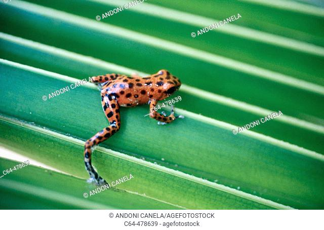 Strawberry Poison Dart Frog (Dendrobates pumilio). Bocas del Toro. Panama