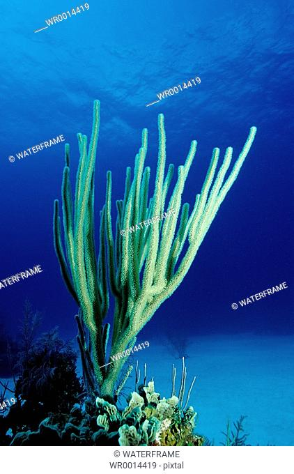 Sea Rod, Plexaura sp., Caribbean Sea, Curacao