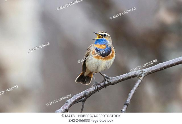 Bluethroat, Luscinia svecica, sitting on a branch singing, Gällivare, Swedish Lapland, Sweden