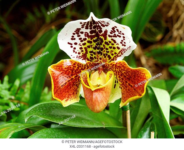 orchids garden, flowerage of Madeira, ladys slipper, Portugal, Madeira, Funchal.1015