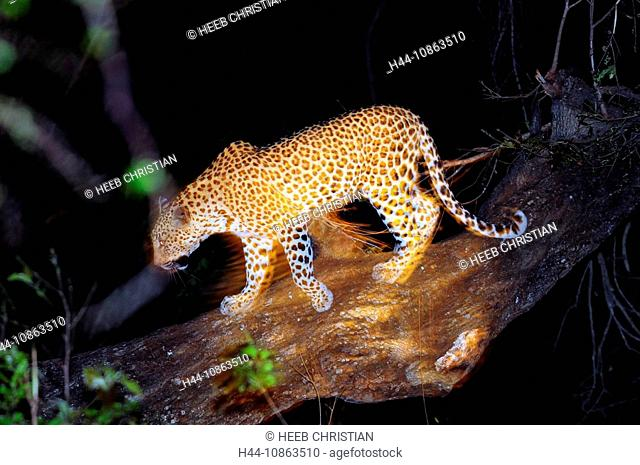 Leopard, Panthera pardus, Ulusaba Sir Richard Branson's Private Game Reserve, Sabi Sands Game Reserve, Mpumalanga, South Africa, tree, night