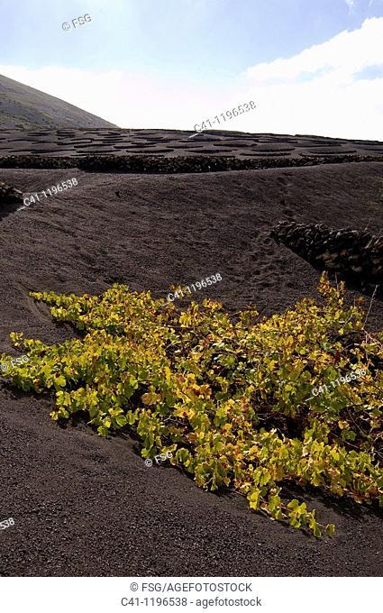 Cultivo de uvas  La Geria  LANZAROTE, CANARY ISLANDS  SPAIN