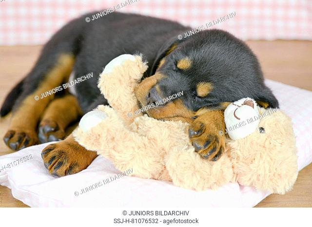 Rottweiler. A puppy (5 weeks old) sleeps with its teddy on a pillow. Studio picture. Germany