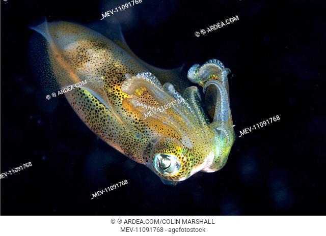 Bigfin Reef Squid during night dive