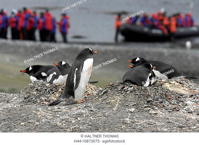 Antarctica,Antarctic,Aitcho Island,Barrientos,South Shetland Island,penguins,expedition
