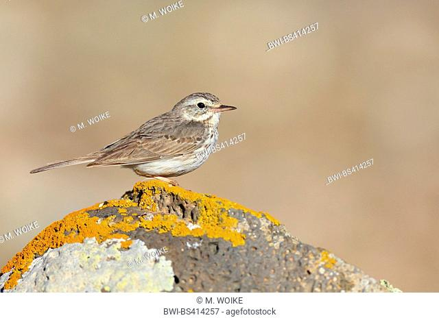 Canarian pitpit (Anthus berthelotii), standing on a lichened stone, side view, Canary Islands, Fuerteventura