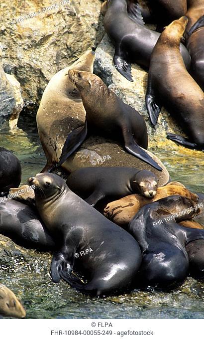 Californian Sealion Zalophus californianus group, resting on rocks, Monterey Bay, California, U S A