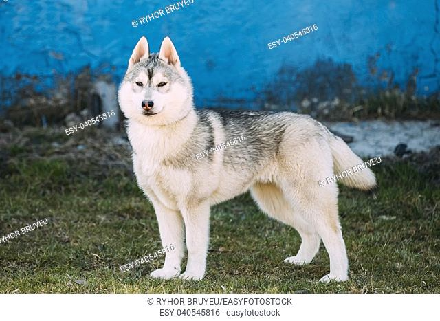 Young Funny Gray Husky Puppy Dog Outdoor Against Blue Old Wall