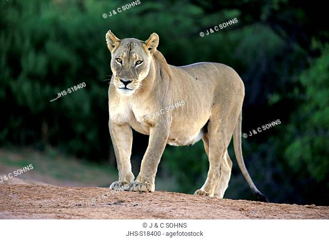 Lion, (Panthera leo), female alert, Tswalu Game Reserve, Kalahari, Northern Cape, South Africa, Africa