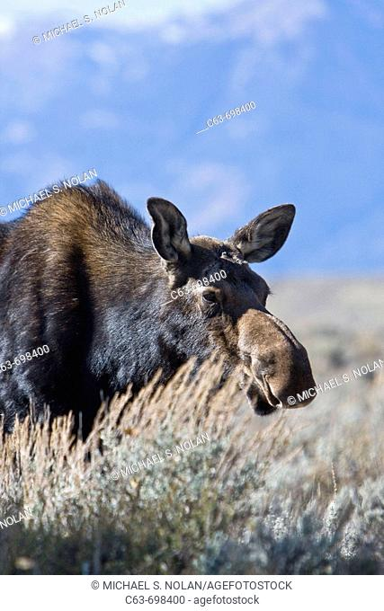 Moose Alces alces shirasi near the Gros Ventre river just outside of Grand Teton National Park, Wyoming, USA  The moose is actually the largest member of the...