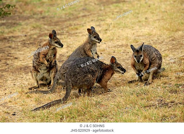 Tammar Wallaby, (Macropus eugenii), Dama-Wallaby, group of adults feeding, Kangaroo Island, South Australia, Australia