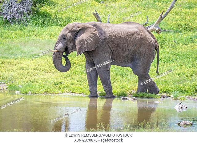 An elephant is drinking at a watering hole at Etosha National Park, located in Namibia, Africa