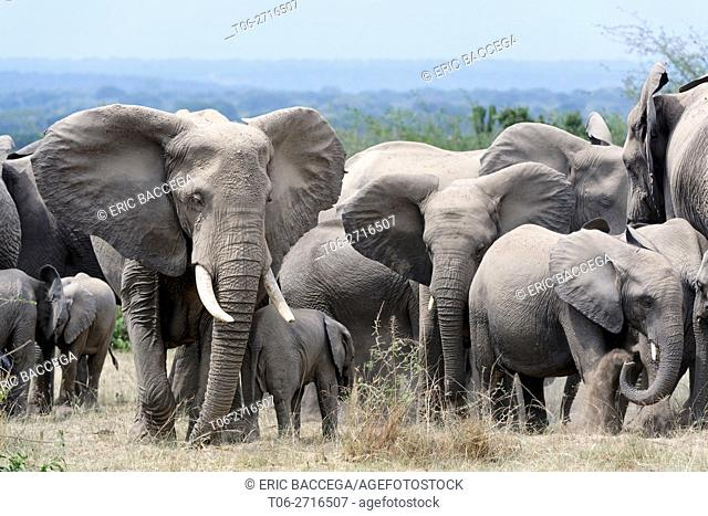 African elephant herd with calves (Loxodonta africana) Queen Elizabeth National Park, Uganda, Africa
