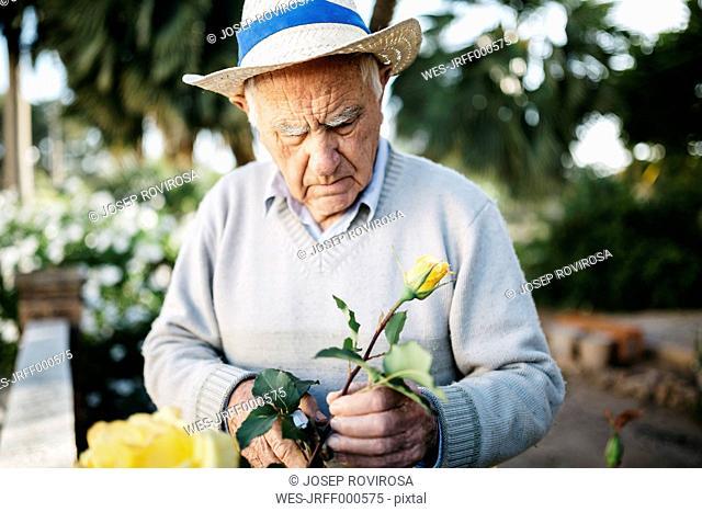 Senior man cutting rose in the garden