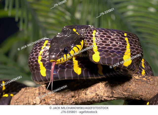 Mangrove Snake (Boiga dendrophila melanota), captive