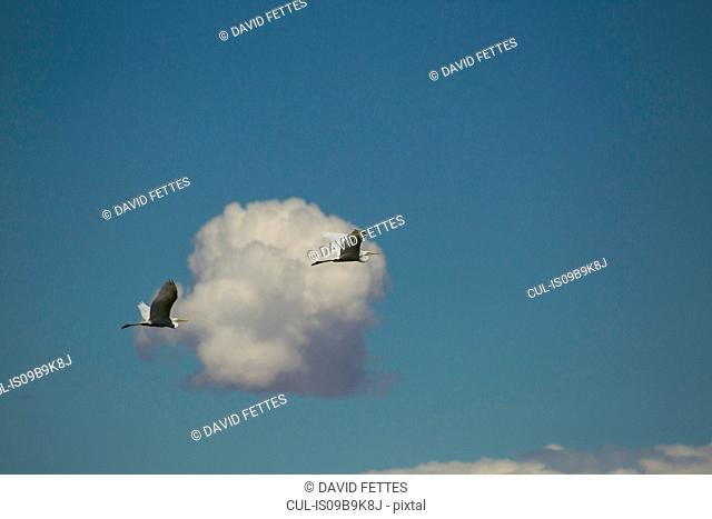 Two great egrets (ardea alba) flying in blue sky with cloud, Khovd, Mongolia