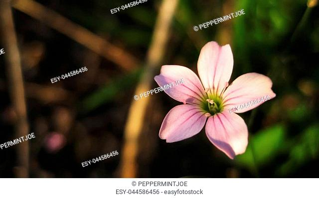 Small pink wildflower with five petals on sunset in spring