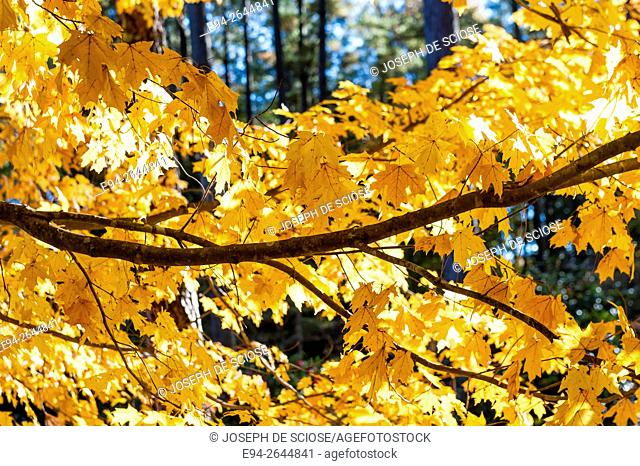 Autumn color in a on a maple trees with a branch close up, Alabama, USA
