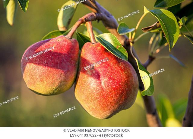 Juicy mature pear harvested in organic technology