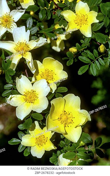 Rosa sericea omeiensis. flowering shrub