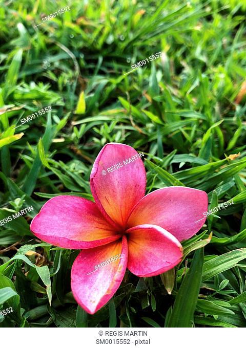 Pink Plumeria frangipani flower fallen on the grass