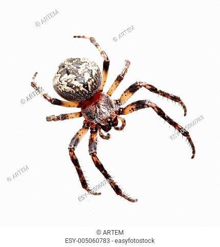 Garden spider Araneidae
