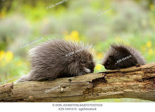 Porcupine Erethizon dorsatum Baby and adult