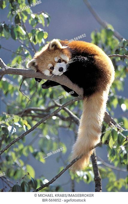 Red Panda, Ailurus fulgans, Wolong Valley, Himalaya, China