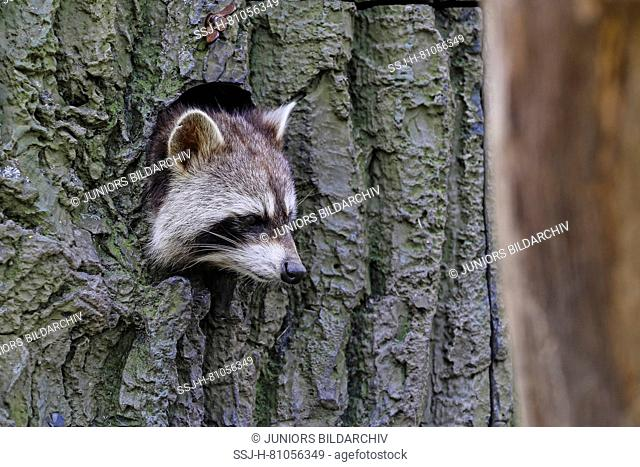 Racoon (Procyon lotor) peering out of a hole in the tree