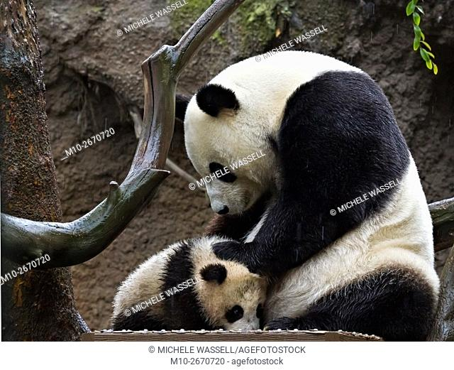 Giant Panda mom taking care of her cub in the rain in North America, USA